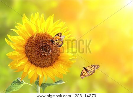 Sunflower and monarch butterflies (Danaus plexippus, Nymphalidae) on blurred yellow sunny background. Copy space for your text