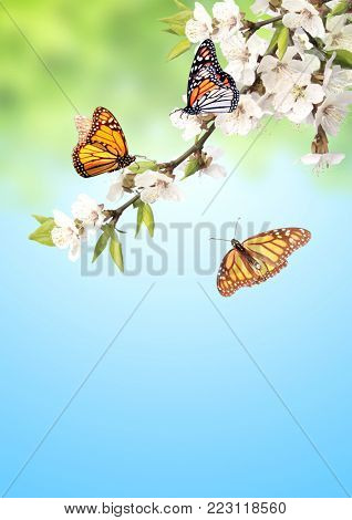 Flowers of cherry and monarch butterflies (Danaus plexippus, Nymphalidae). On blue sky background. Copy space for your text