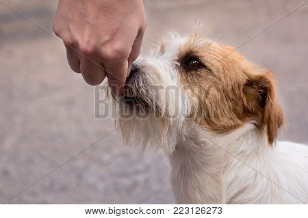 portrait close-up Jack Russell Terrier Feeding dog - hand holding holding training on obedience, parenting