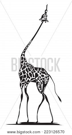 Graceful giraffe with long thin feet reaching for food on white background