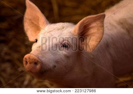 Animal portrait of cute young pig in sty, swine breeding concept.