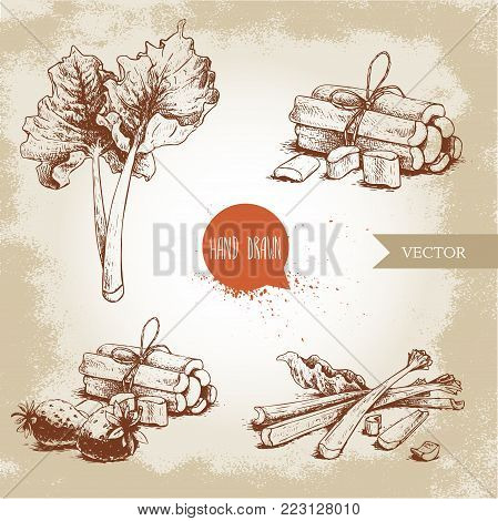Hand drawn sketch style rhubarb set. leaves, bunches cut and whole with strawberries composition. Organic food component vector illustration.