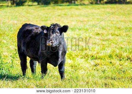 One black young cow, calf closeup grazing on pasture, green grass in Virginia farms countryside meadow field