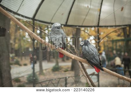 Two beautiful  parrot in a zoo cage tropical gray bird in the aviary bird keeping in captivity poster