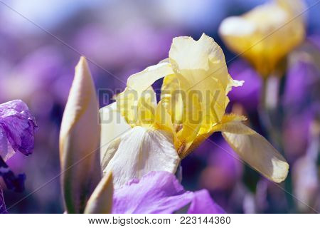 yellow-purple flowers in the garden at springtime. beautiful yellow iris in nature . In the park in nature