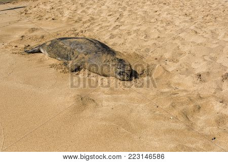Kauai Monk Seal resting after a long day hunting and avoiding predators by sleeping on the beach.
