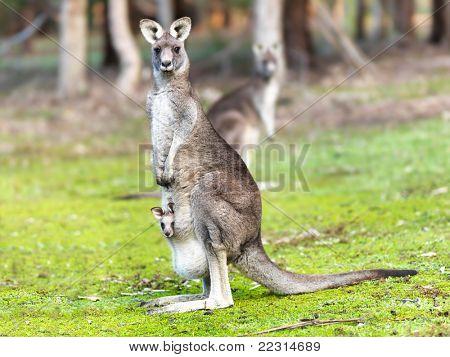 Kangaroo with baby alert poster