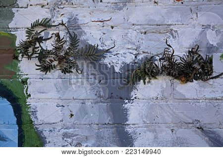 Resurrection ferns growing in the mortar of a painted brick wall