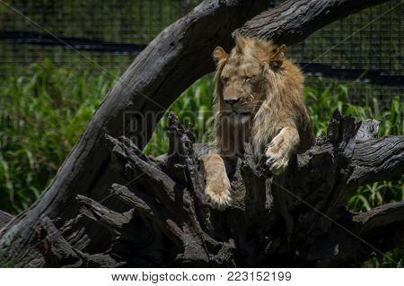 a male lion resting in a dead tree