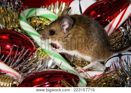 Side view of a wild brown house mouse, Mus musculus, with his paw on a candy cane. The rodent is sitting in the middle of an assortment of Christmas decorations, silver and gold garland, red bulbs, white bells,and green and red stripped candy canes.