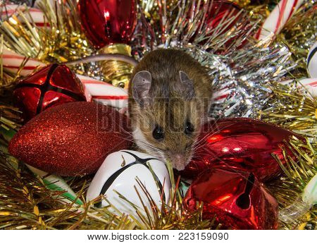 A small brown wild house mouse, Mus musculus, on loose colorful Christmas ornaments. White and red bells, silver and gold garland, red bulbs, and stripped candy canes are in the pile.  The rodent is facing forward with his head slightly down looking guilt