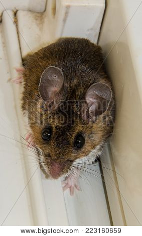 A wild brown house mouse backed up into the corner of a dirty white windowsill. This picture is head-on and shows the rodents full face with huge round black eyes, partial back and 3 of the mammals pink feet.