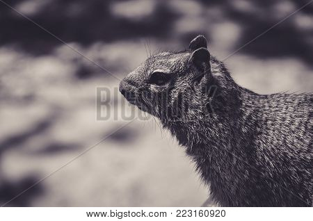 Black and White Portrait of a Caroline's Grey Squirrel