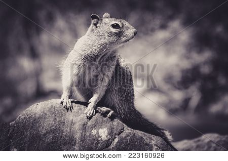 Portrait of Caroline's Grey Squirrel Sat on a Rock