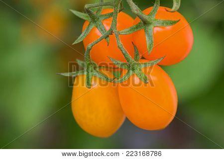 Closeup homegrown ripe orange plum tomato, San Marzano (Santorange) on its vine in Europe, blurred green background
