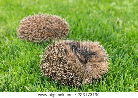 two curled up baby hedgehogs sleeping on grass