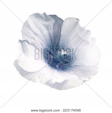 White-blue flower  mallow  on a white isolated background with clipping path  no shadows.   For design.   Closeup.  Nature.