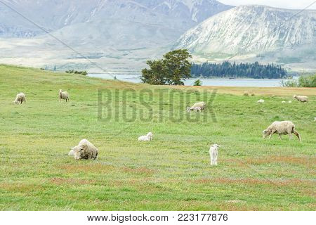 Agricultural concept - sheep herd with tiny young sheep on light green field in New Zealand