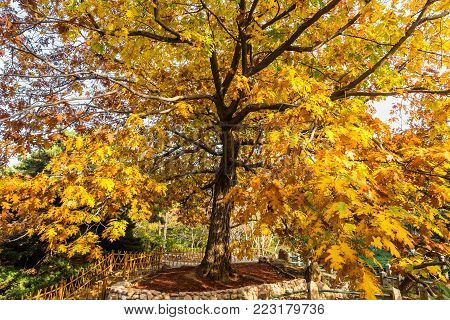 Golden Yellow tree in Autumn in Park, Qingdao, Shandong province, China