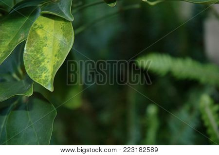 A close-up of green and yellowing leaves on a tree. These frame the photo, with the rest of the plants out of focus. Some fern fronds are in the background.
