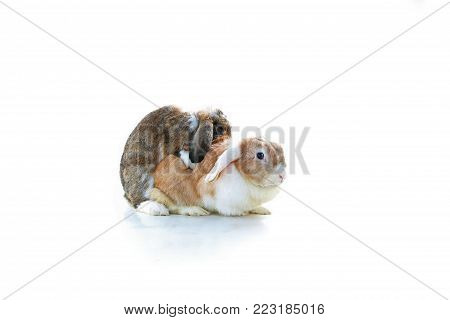 Rabbit mating. Mini Lop Ear rabbits mating on white background. Rabbit breeding. Studio photo. Animal pet mammal bunny dutch widder dwarf rabbits breeding.