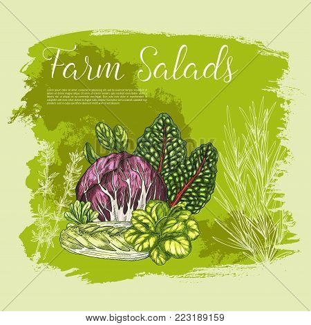 Salads and lettuce vegetables sketch poster. Vector farm harvest of chicory, radiccio or sorrel and pak choi, or arugula and chinese cabbage, oakleaf lettuce or garden spinach and batavia lettuce