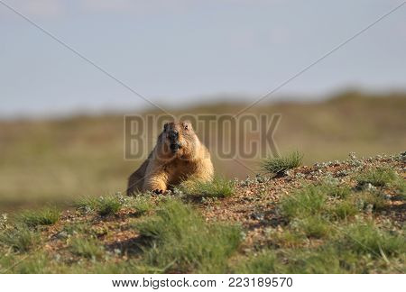 Careful and very observant groundhog, funny rodent.