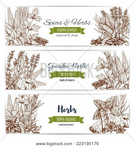 Herbs and spices organic plant sketch banners. Basil, pepper and mint, rosemary, cinnamon and parsley, anise, clove and thyme, ginger, bay and cardamom, oregano and dill. Garden herbs farm store design