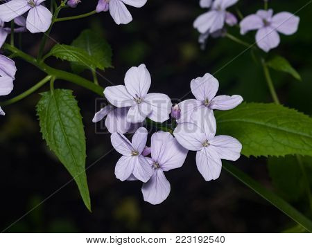 Perennial honesty or Lunaria rediviva flowers macro with dark bokeh background, selective focus, shallow DOF.