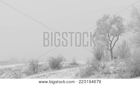 Kind of tree on a foggy winter day. Frost. The branches were covered with hoar frost. Soft focus