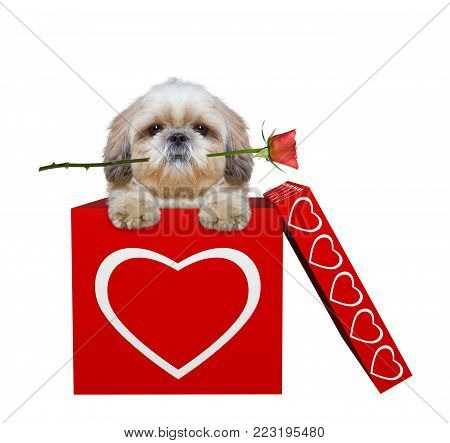 Cute dog with rose sitting in valentines box. Isolated on white background