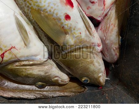 Freshly killed cod fish into a plastic box with a little of bloody water. Draining fish in the blood. Fish slaughterhouse or butchery