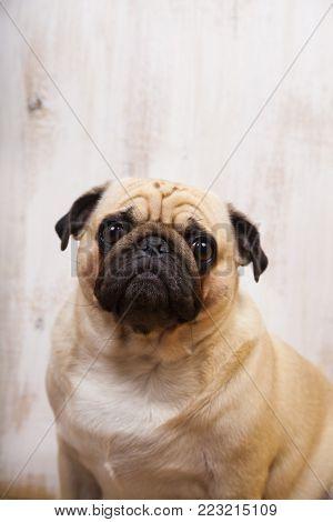 Dog on a light background close-up. Pug.Portrait of a pug dog
