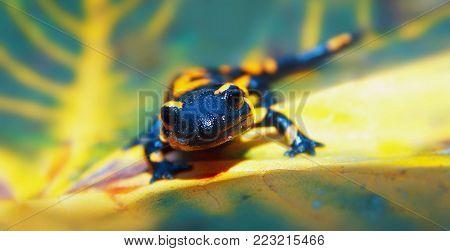 Fire Salamandra In The Beautifull Green Nature