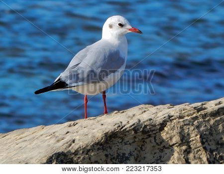 Caspian gull on the background of the blue sea. Close-up.