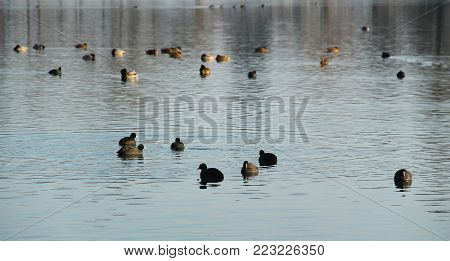 a lot of European coots (Fulica atra) and mallard ducks (Anas platyrhynchos) on the dam