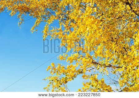 Golden yellow autumn leaves of birch on a background of blue sky