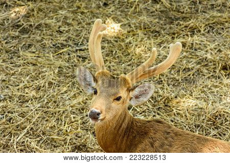 closeup photo of rein deer with horn