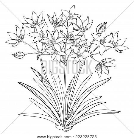 Vector bouquet with outline Ornithogalum or Star-of-Bethlehem flower bunch, bud and leaf in black isolated on white background. Perennial bulbous plant in contour for spring design or coloring book.