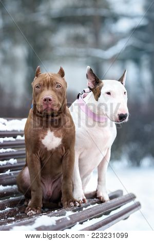 american pit bull terrier and english bull terrier dogs posing together