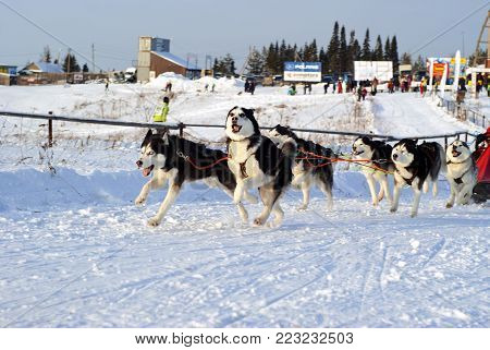 POLAZNA, RUSSIA - JANUARY 21, 2018: A team of six huskies at the regional dog sled competitions in the Perm krai.