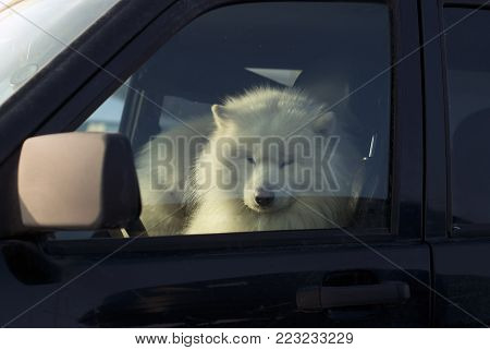 furry white Alaskan malamute warms and slumbers in the driver's seat of the car