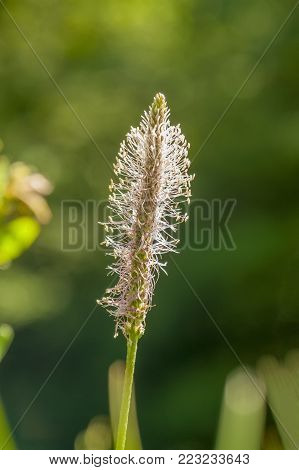 low angle shoot of a hoary plantain flower in sunny ambiance at summer time
