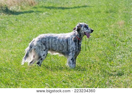 English Setter on the meadow - hound