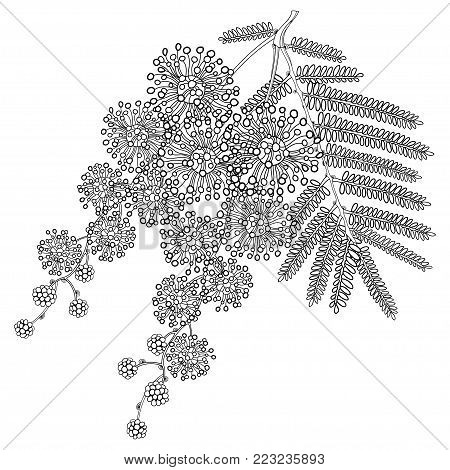 Vector branch of outline Mimosa or Acacia dealbata or silver wattle flower, bud and leaves in black isolated on white background. Bunch of Mimosa in contour style for spring design or coloring book.