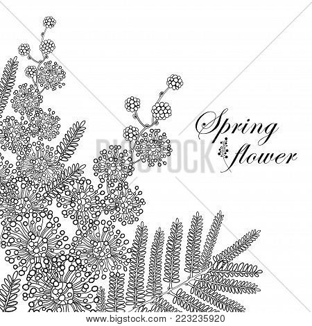 Vector branch of outline Mimosa or Acacia dealbata or silver wattle flower and leaves in black isolated on white background. Blossom Mimosa bunch in contour style for spring design or coloring book.