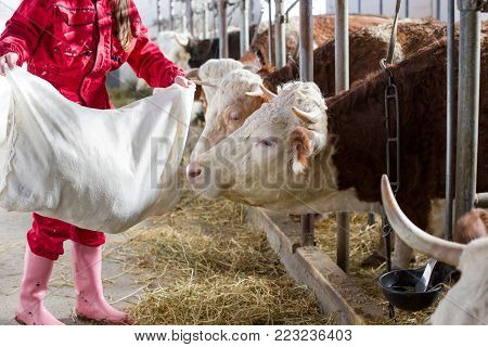 Farmer Woman Feeding Cows In Stable