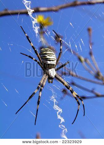 Spider inside its spiderweb