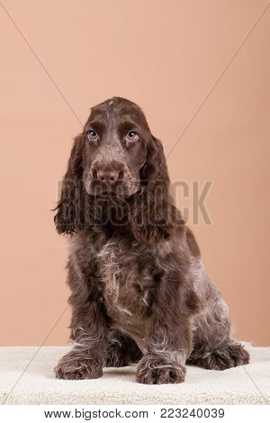 Two Puppy Of Brown English Cocker Spaniel Dog