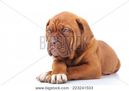 curious french mastiff puppy looks to side while lying down on white background